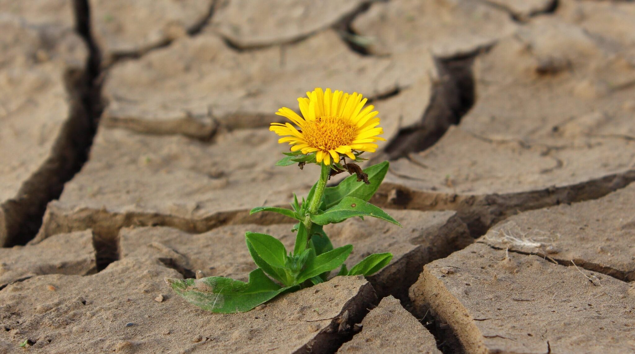 Flower growing through cracked soil, flaws, cracks, beauty
